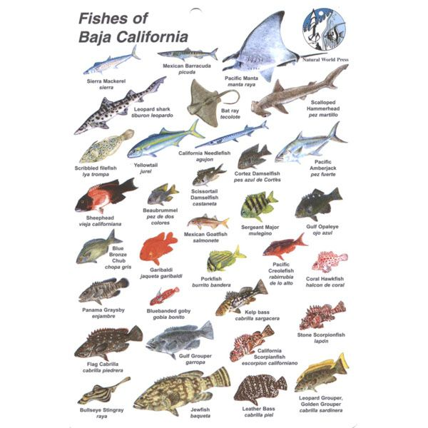Fish ID Card Baja California