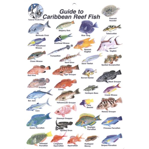 Fish ID Card Caribbean Reef Fish